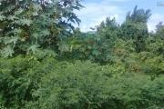 A vendre beau terrain proche mer de 2688 toises soit 242 perches (124.80 M2) environ 2 arpents 43 perches à Grand Gaube.